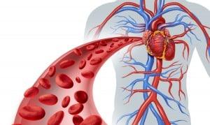 Кръвоносната система – какво знаем за нея?