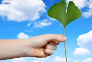 Гинко билоба – ползи и ефект върху кръвообращението